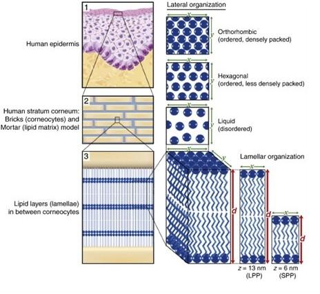 How Vesiderm Yolk Lecithin Liposomes gives you healthy skin? 4