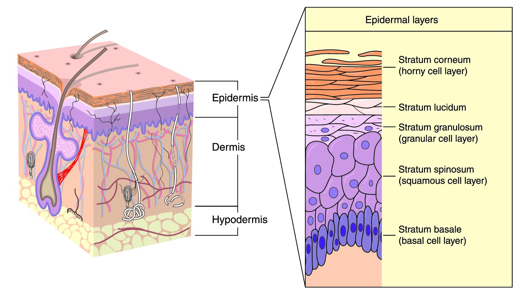 How Vesiderm Yolk Lecithin Liposomes gives you healthy skin? 2